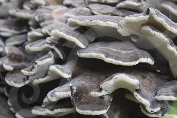 Tronco con micelio de maitake de Hifas da Terra fructificado.