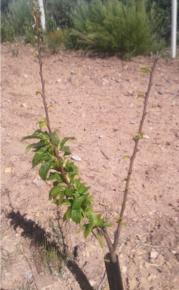 plantas con las puntas ennegrecidas por la acumulación de etileno