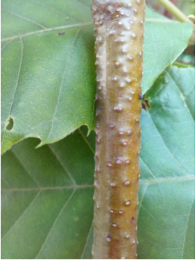"""Castaño con una hipertrofia lenticelar que se conoce por el nombre de """"piel de sapo""""."""