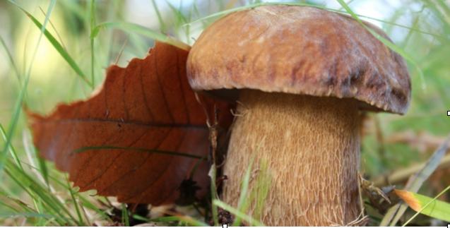 Fig. 1. El Boletus edulis es un buen ejemplo de hongo micorrícico, el cual se asocia a raíces de varias especies de frondosas y coníferas.