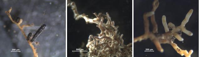 Fig. 2. Las micorrizas aparecen como engrosamientos alrededor de las raíces más finas, como se puede apreciar en las imágenes su aspecto varía dependiendo de las especies que las formen. Existen de diferentes colores, tamaños y formas, más o menos ramificadas, con o sin rizomorfos, etc.