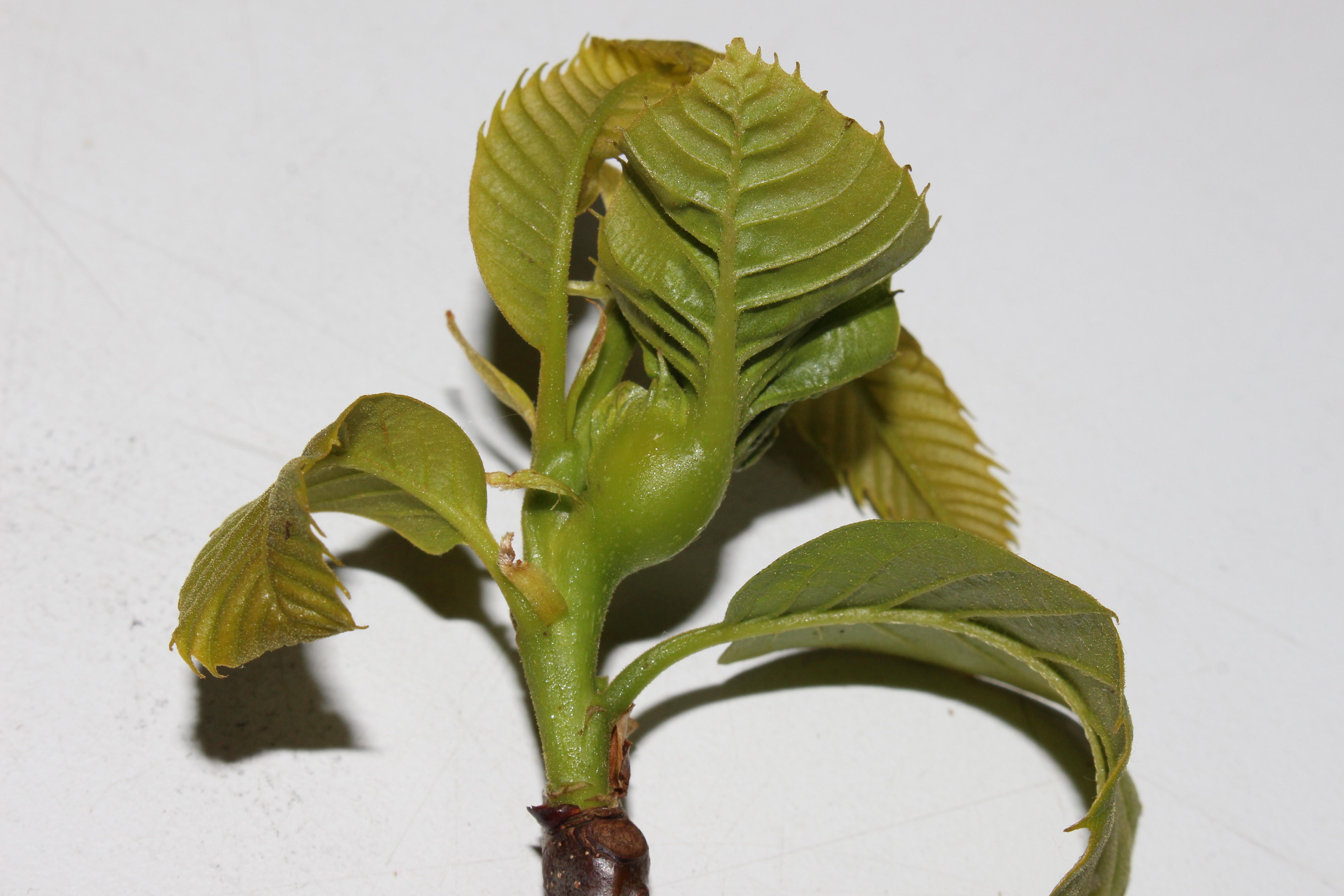 Agalla de avispilla formada a partir de una yema apical