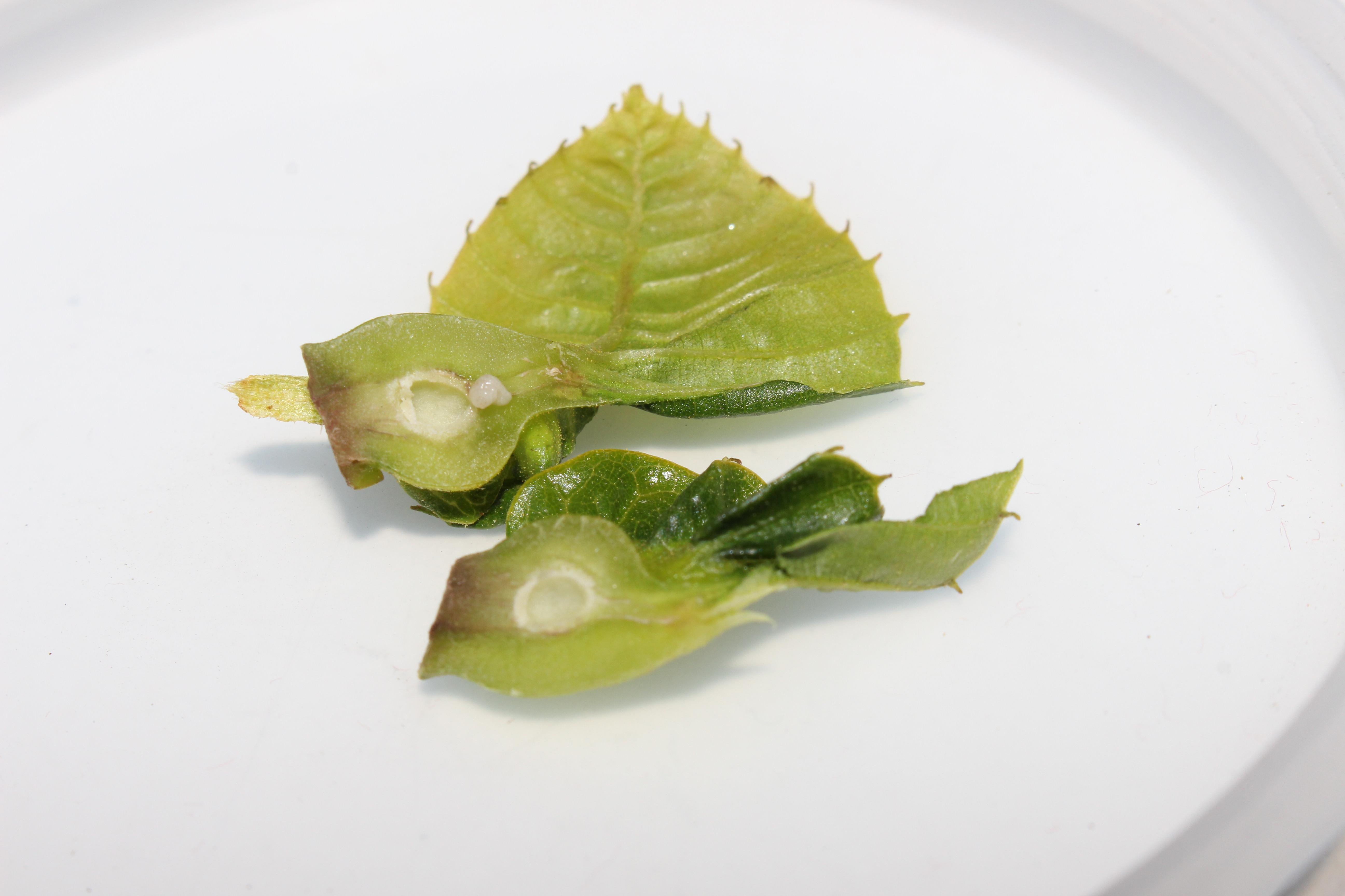 Larva de avispilla, en este caso la agalla se formó a partir de un solo huevo.