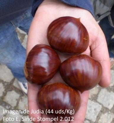 Castañas de Judía recogidas en los soutos de Hifas Foresta en las Rías Baixas, en algunos años el calibre puede bajar de las 50 castañas/kg