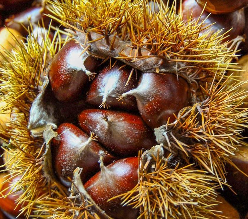 Erizo de Judía proveniente de una flor con 6 ovarios, muy frecuente en esta variedad.