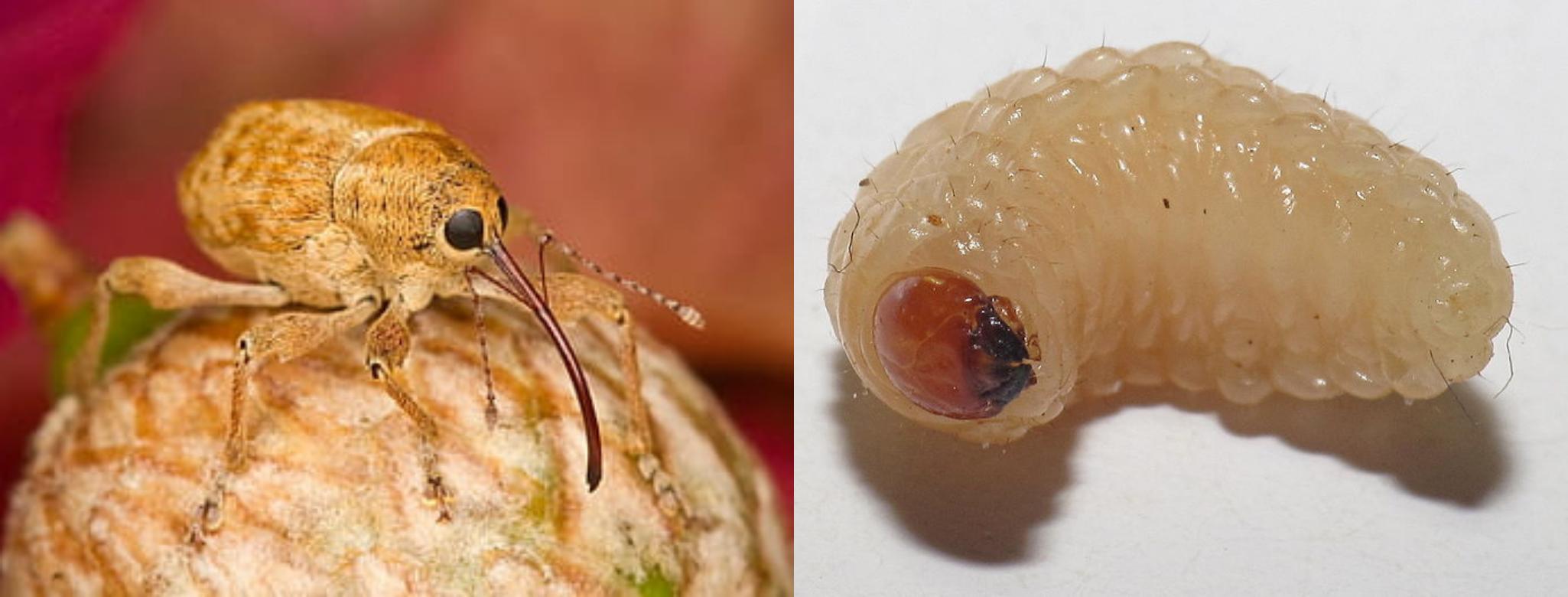 Adulto y larva de Curculio elephas