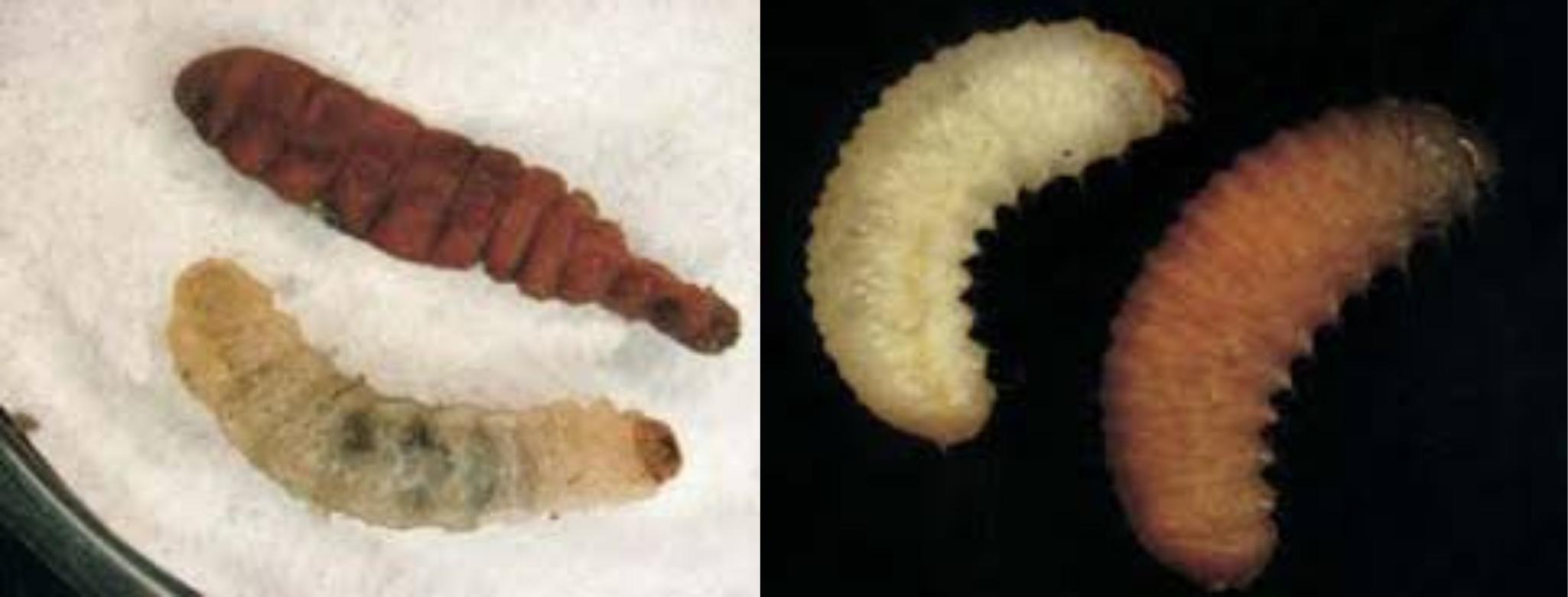 Larvas de Cydia splendana y Curculio elephas parasitadas por nematodos entomopatógenos. Fuente: Estación Fitopatolóxica do Areeiro; Ensayo de eficacia con nematodos entomopatógenos para el control de carpófagos del castaño