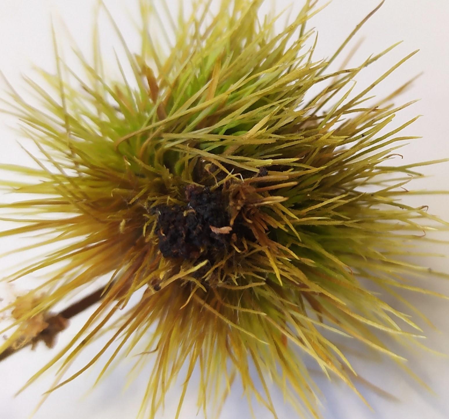 """Erizo afectado por larva de P. fasciana que se desprende prematuramente del árbol sin llegar a desarrollar el """"fruto""""."""